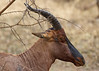 Topi's: Antelopes found in both Tanzania and Kenya