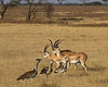 These Grants Gazelles and Kori Bustards in Ndutu, the Serengeti National Park Tanzania
