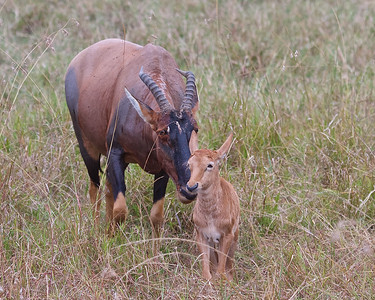 Topi's: Antelopes found in both Tanzania and Kenya.  Mom with Calf