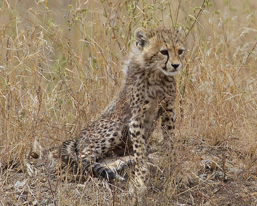 A Cheetah Cub in the Serengeti National Park, Tanzania--an uninhabited area larger than the state of Connecticut