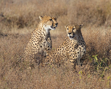 A pair of Cheetah Brothers at Ndutu, Tanzania