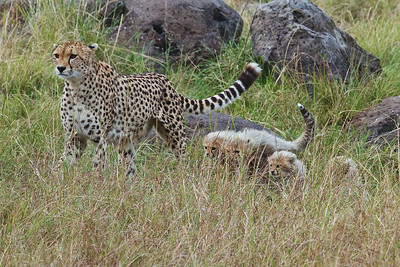 A family of Cheetahs in the Masai Mara Triangle, Kenya