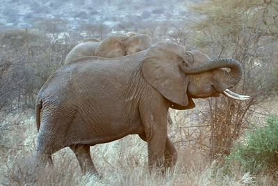 Samburu National Park, Larsen's Camp, Kenya, Herds of elephants, some with babies