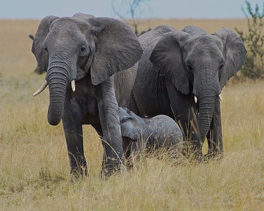 Serengeti National Park, Tanzania, Matriarch herd of elephants