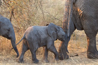 An Elephant family follows the Matriarch in the Tarangire National Park, Tanzania