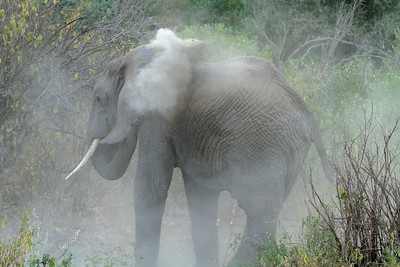 Elephant dusting in Tanzania's Lake Manyara National Park