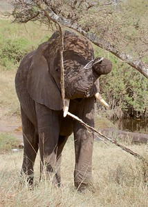Serengeti National Park, Tanzania, Elephant Feeds on an Acacia Tree