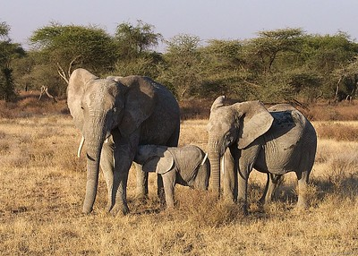 Matriarch herd of elephants, Ndutu, Serengeti National Park, Tanzania