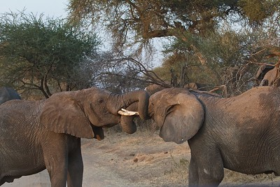 Young Male Elephants Sparring in the Tarangire National Park, Tanzania