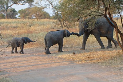 The Matriarch from another family greets babies in the Tarangire National Park, Tanzania