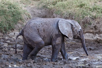 Serengeti National Park, Tanzania, an Elephant Baby Cools Off in the Mud5