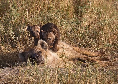 In the Maasai Mara National Reserve, Kenya,  Hyena Family with Pups