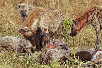In the Masai Triangle of Kenya.  Hyena Family with Pups