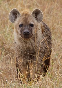 "In the Ngorongoro Crater and Conservation Area, Tanzania, Hyena ""Smiling."""