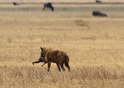 In the Ngorongoro Crater and Conservation Area, Tanzania, Hyena with a Wildebeest Kill