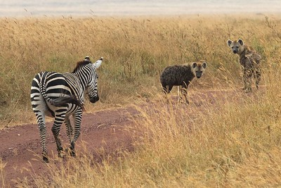 In the Ngorongoro Crater and Conservation Area, Tanzania, Hyenas watch an injured Zebra