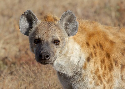 Hyenas at Ndutu, Serengeti National Park, Tanzania
