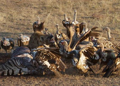 Masai Mara Triangle, Kenya, Hyenas and Vultures on a Kill  Fighting over the remains.