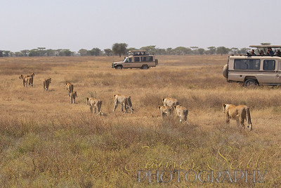 Safari at Ndutu, Tanzania. tracking lion pride who kill a Cape Buffalo