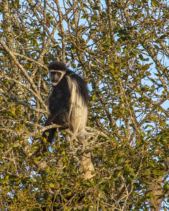 Colobus Monkey at the Mountain Lodge in Kenya