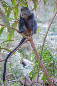 A Blue Monkey in Tanzania's Lake Manyara National Park