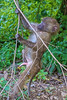 A Baboon Baby shows his climbing ability at Lake Nakuru National Park_Kenya