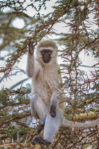 A Male Vervet Monkey in Tanzania at Ngorongoro Conservation Area and Crater