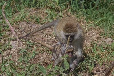At Lake Nakuru National Park_Kenya, a Vervet Monkey Mom and Baby