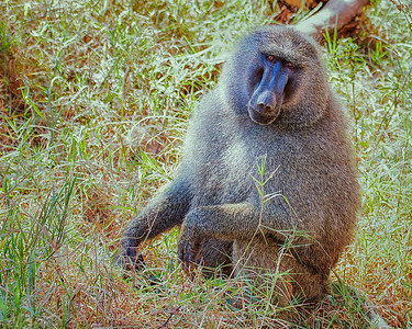 A large Male Baboon at Lake Manyara National Park, Tanzania