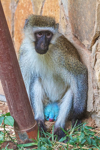 A Male Vervet Monkey at Larsen's Camp, Samburu, Kenya