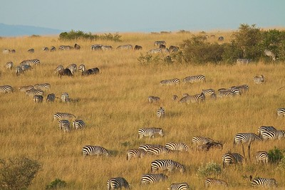 Wildebeest and Zebras Migrating through the Maasai Mara National Reserve, Kenya