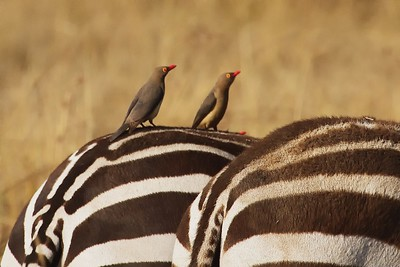 In the Masai Triangle, Zebra with Oxpecker Birds cleaning insects