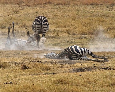 Zebras Rolling in the Dust to Scratch and move bugs in the Ngorongoro_Crater_Conservation Area_Tanzania