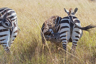 Zebra Colt Nurses as they Migrate through the Maasai Mara National Reserve,