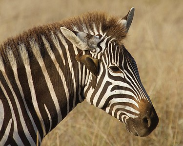 Maasai Mara National Reserve, Kenya, Zebra with Oxpecker Birds cleaning insects