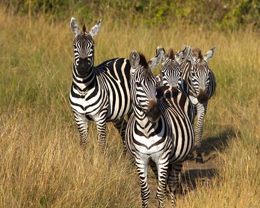 Wildebeest and Zebras Migrating through the Masai Triangle, Kenya Masai_Mara_Triangle_Kenya_African Animals