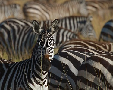 Zebra Herd in the Serengeti National Park, Tanzania