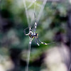 Golden Orb Web Spider at Dawn