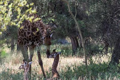Girafe et giraphons