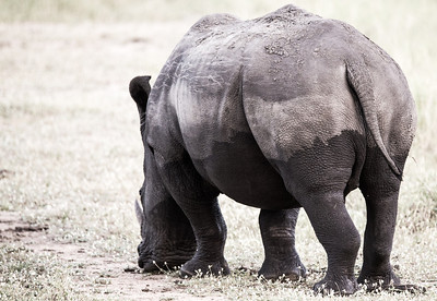 Neopolitan Rhino