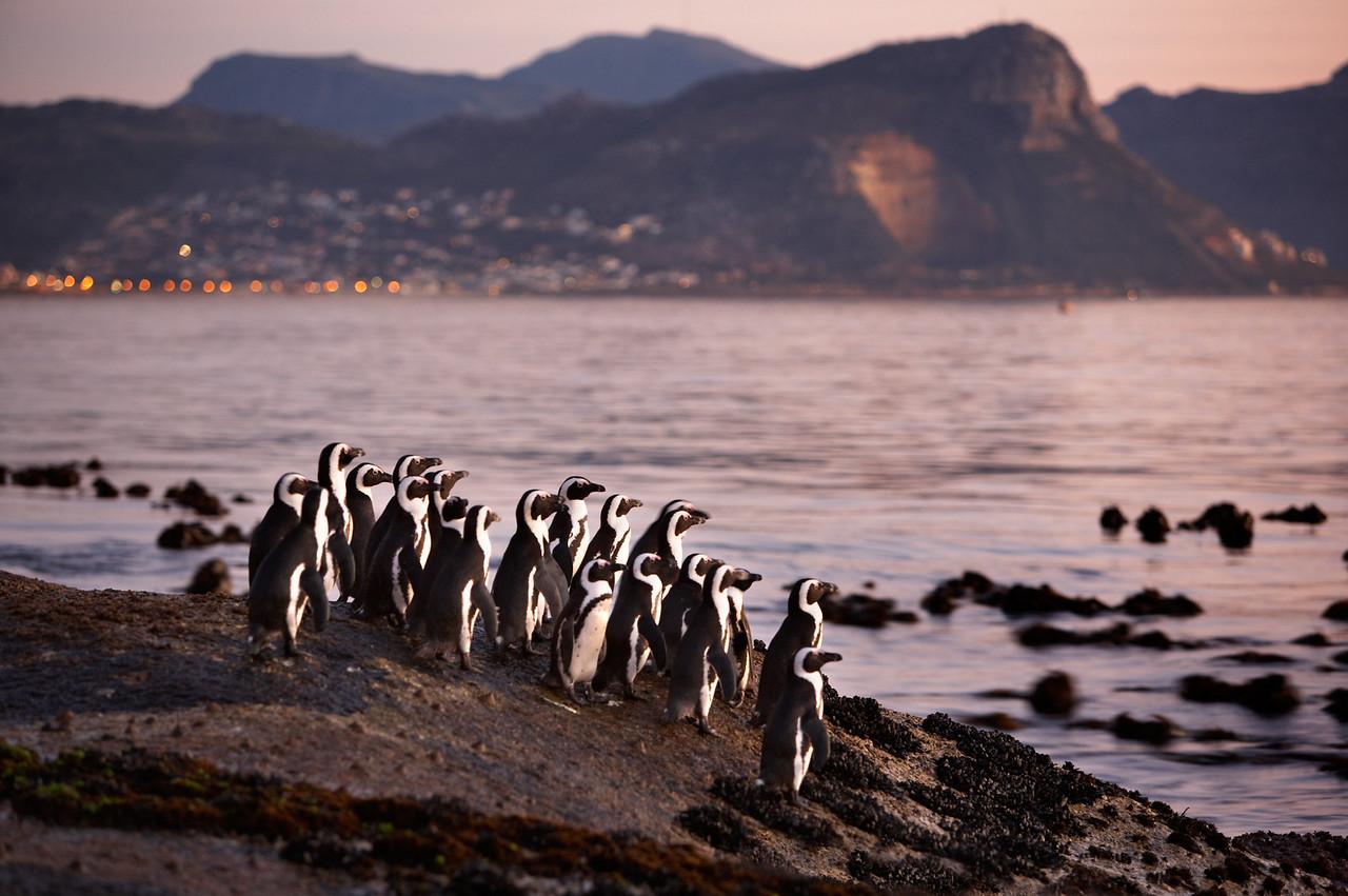 African Penguin  (Jack Ass Penguin) (Spheniscus demersus) Boulders beach, Cape TOwn, South Africa Jason Gallier ref 3935