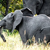 Young Elephant at Play