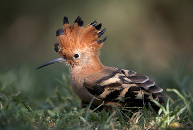 Hoopoe (Upupa epops) South Africa Jason Gallier
