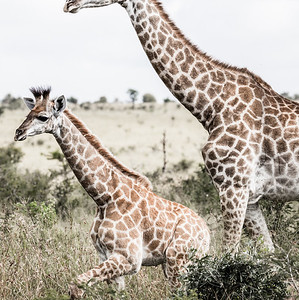 Giraffes: Big & Small