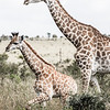 Giraffes: Big & Small