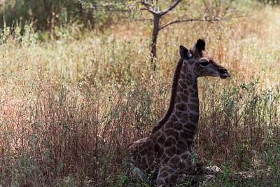 Giraphon