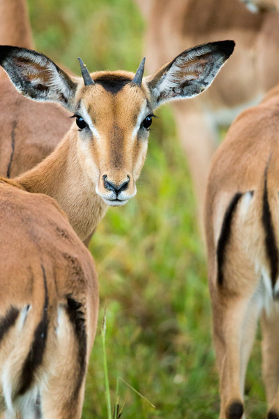 Young Impala Portrait