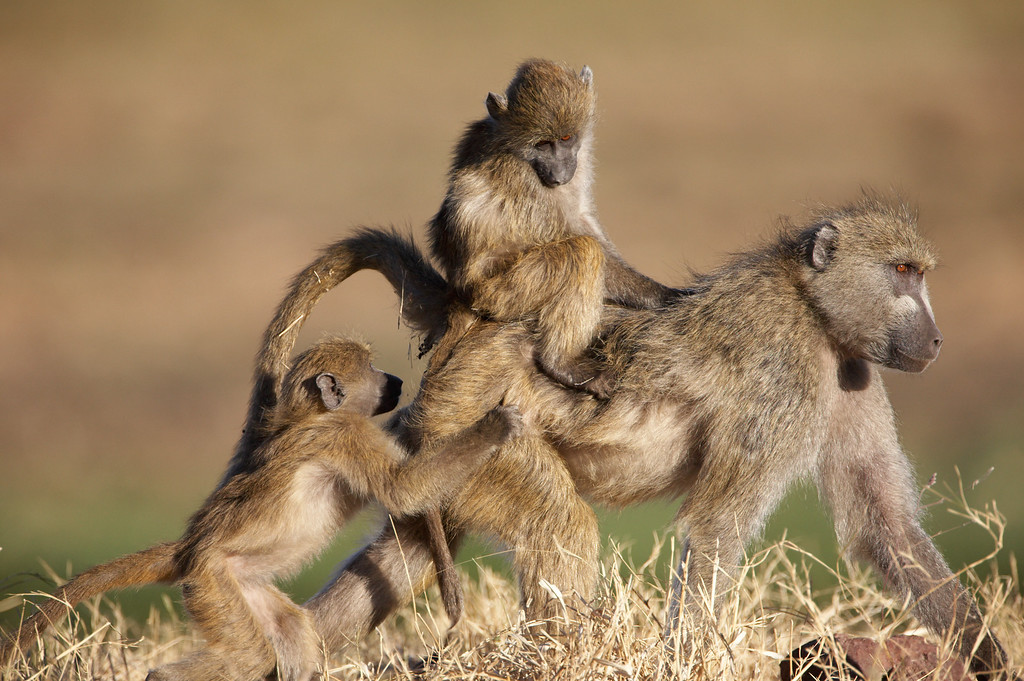 Chacma Baboon (Papio ursinus)<br /> Mother carrying her young<br /> Jason Gallier