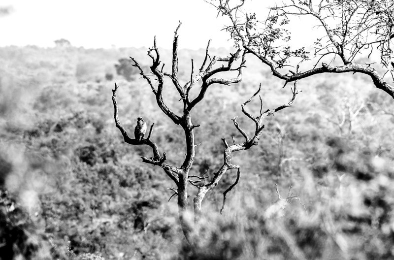 Vulture in the Distance (B&W)