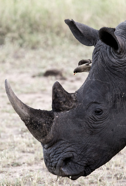 White Rhino and Ox-Pecker
